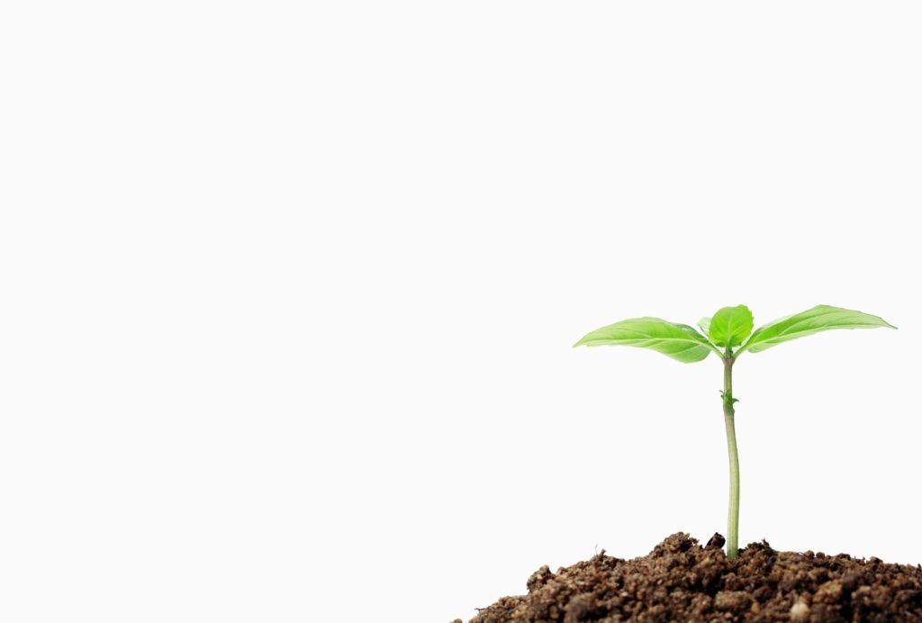 bud growing in dirt